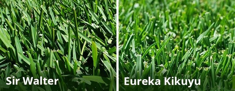 Sir Walter vs Eureka Kikuyu